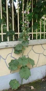A priori peu fertile, le goudron et les pavés des rues sont tout de même colonisés par des plantes.