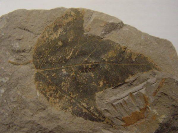 """<p></p> <p>Un peu les """"mal-aimés"""" parmi les amateurs de fossiles ces végétaux, certains amateursse sont malgré tout spécialisés dans le règne végétal.</p> <p>Les fossiles de plantes sont néanmoins parmi les plus esthétiques et se trouvent en grande quantité sur les terrils de notre petite Belgique et du Nord de la France.</p> <p>Ces pièces représentent une petite fraction du matériel disponible dans ma collection personnelle.</p> <p>Je vous souhaite une excellente visite !</p> <p>Phil """"Fo"""
