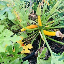 Semis de courgettes jaune dans le micro jardin urbain, (comme l'année dernière)