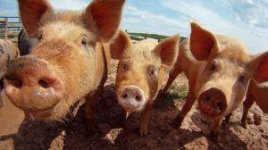 Un nouveau vaccin semble bloquer la propagation de la peste porcine africaine