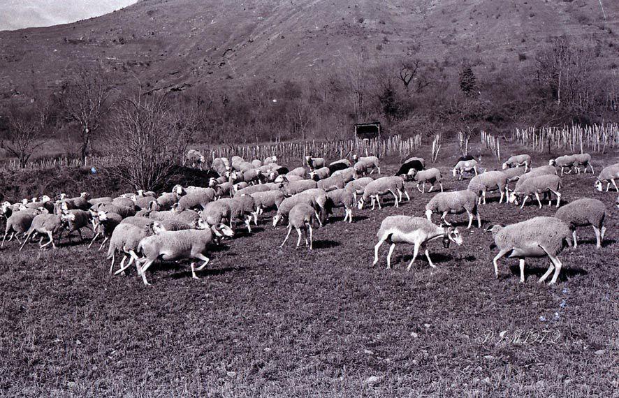 phyoto de la vie agricole ,cochon , moisson dépiquage et divers.