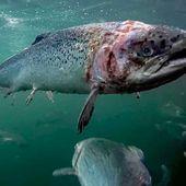 Arrêtez les fermes piscicoles en Europe