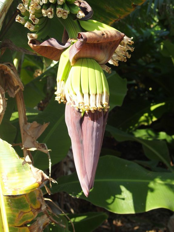 visite de la bananeraie ....