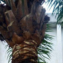 Noix de palmes et palmiers de Kintambo & Mbiza (2/4)