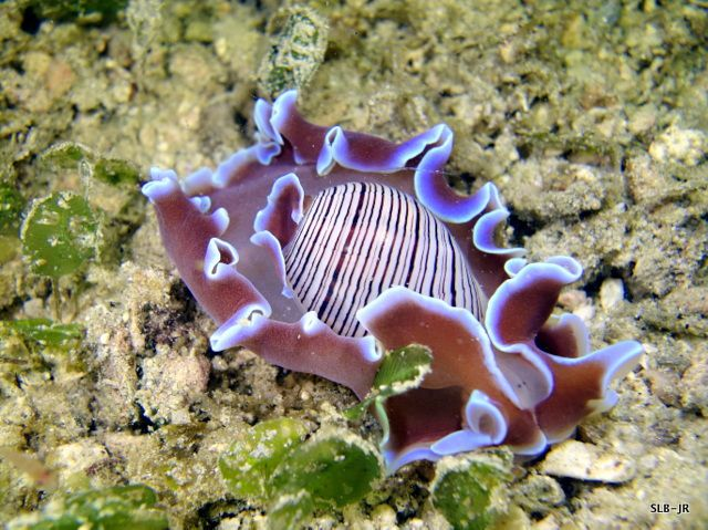 Hydatina physis, Hippocampe pygmée Bargibanti, Corail marguerite Goniopora sp., Clavelines bleues et grande ascidie Herdmania momusascidie