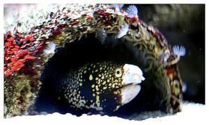 faune : Actinoptérygiens : anguilliformes