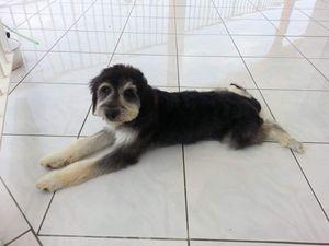 FANFAN s'appelle TSUKI - chiot femelle adoptée à 2 mois (bébé de CLOE)