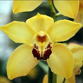 notice culture cymbidium