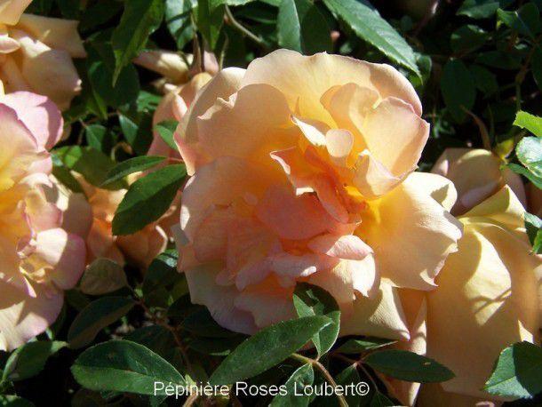 photo roses Loubert