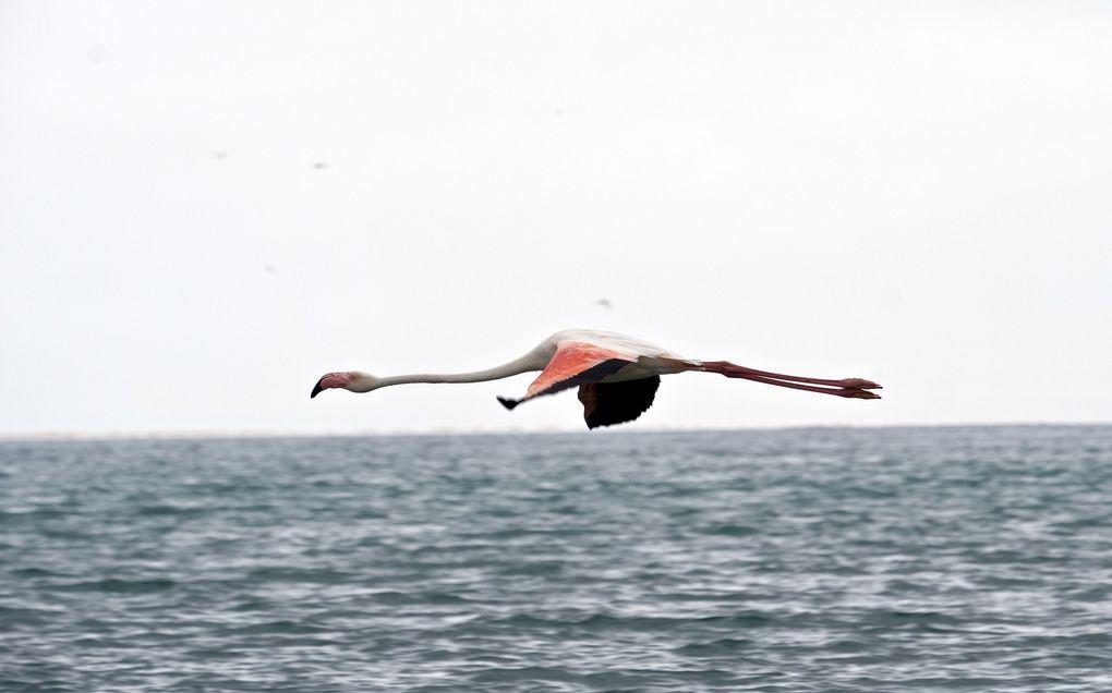 Le symbole représentant le Flamant rose est le Phoenix, il est également identifié aux oiseaux de Paradis.......Cet oiseau est tout simplement fascinant....