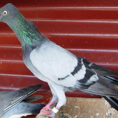 Que faire si vous trouvez un pigeon Bagué en Martinique