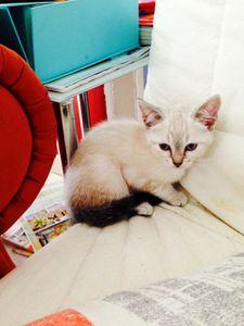 Joba, chaton femelle, à l'adoption -> adoptée