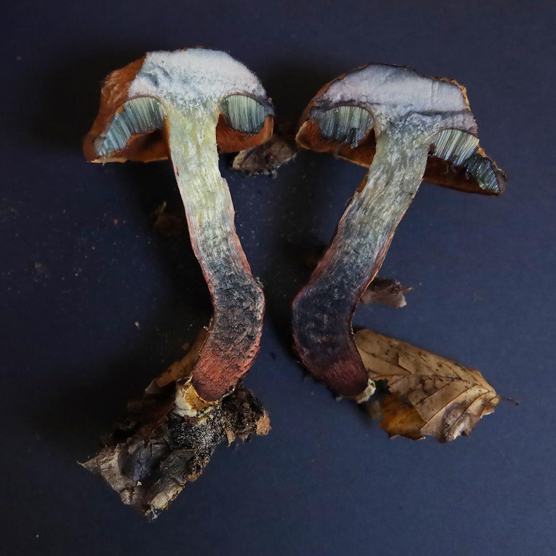 Bolet blafard - Suillellus luridus