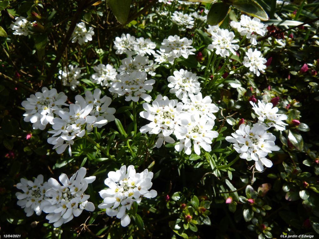 Floraison en mars-avril.