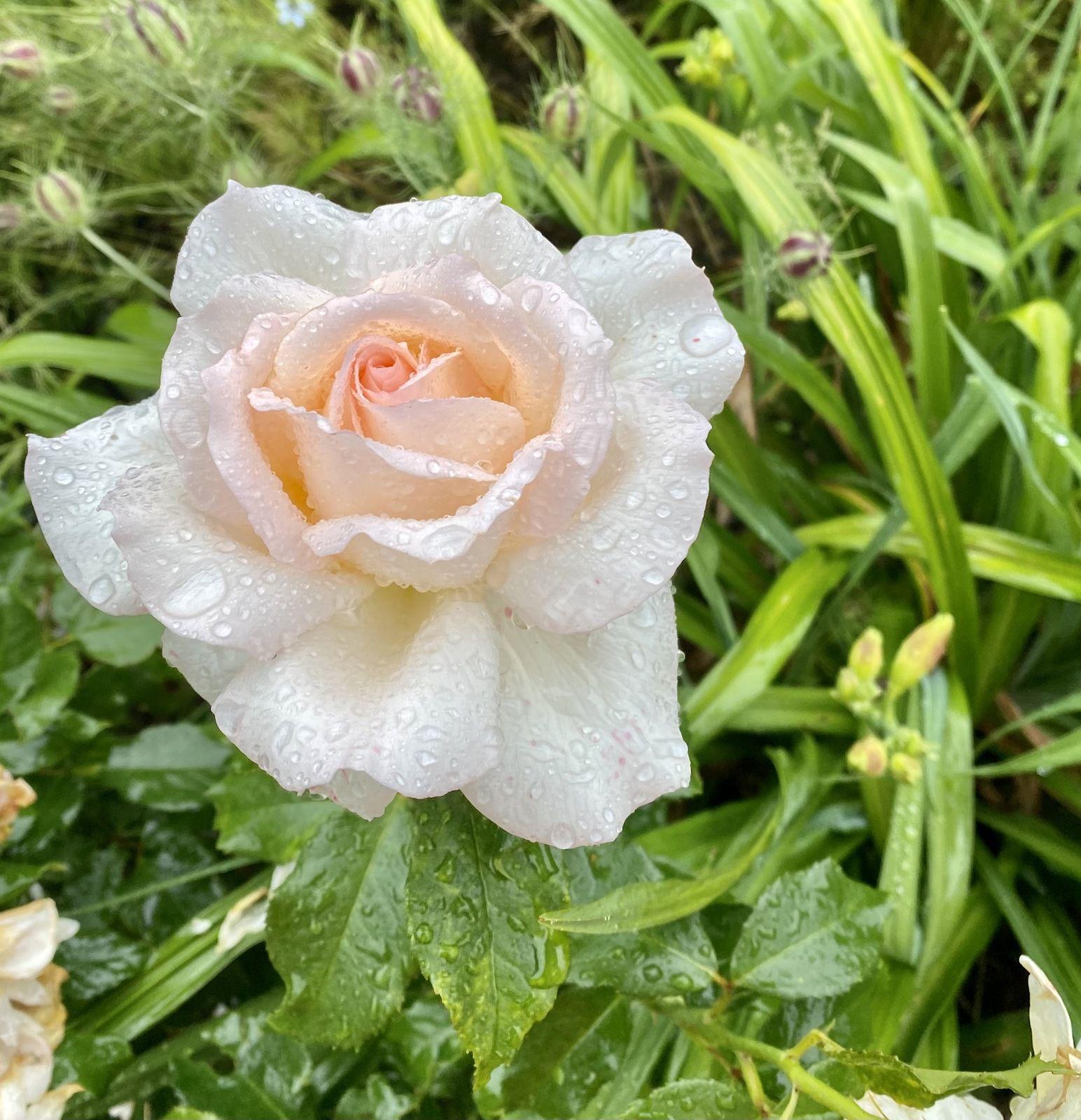 Rosa 'Chandos Beauty' (Harkness, 2009)