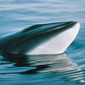 Fin de la chasse la baleine en Norvge : plus de 630 baleines tues ...