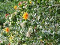 Trois plantes du jardin : carthame, cosmos et garance