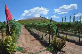 Vineyards in Arizona