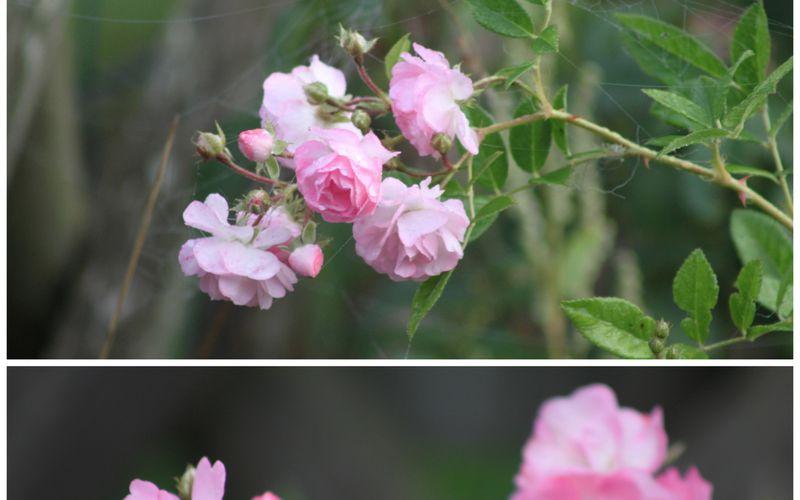 Le rosier Pois de Senteur