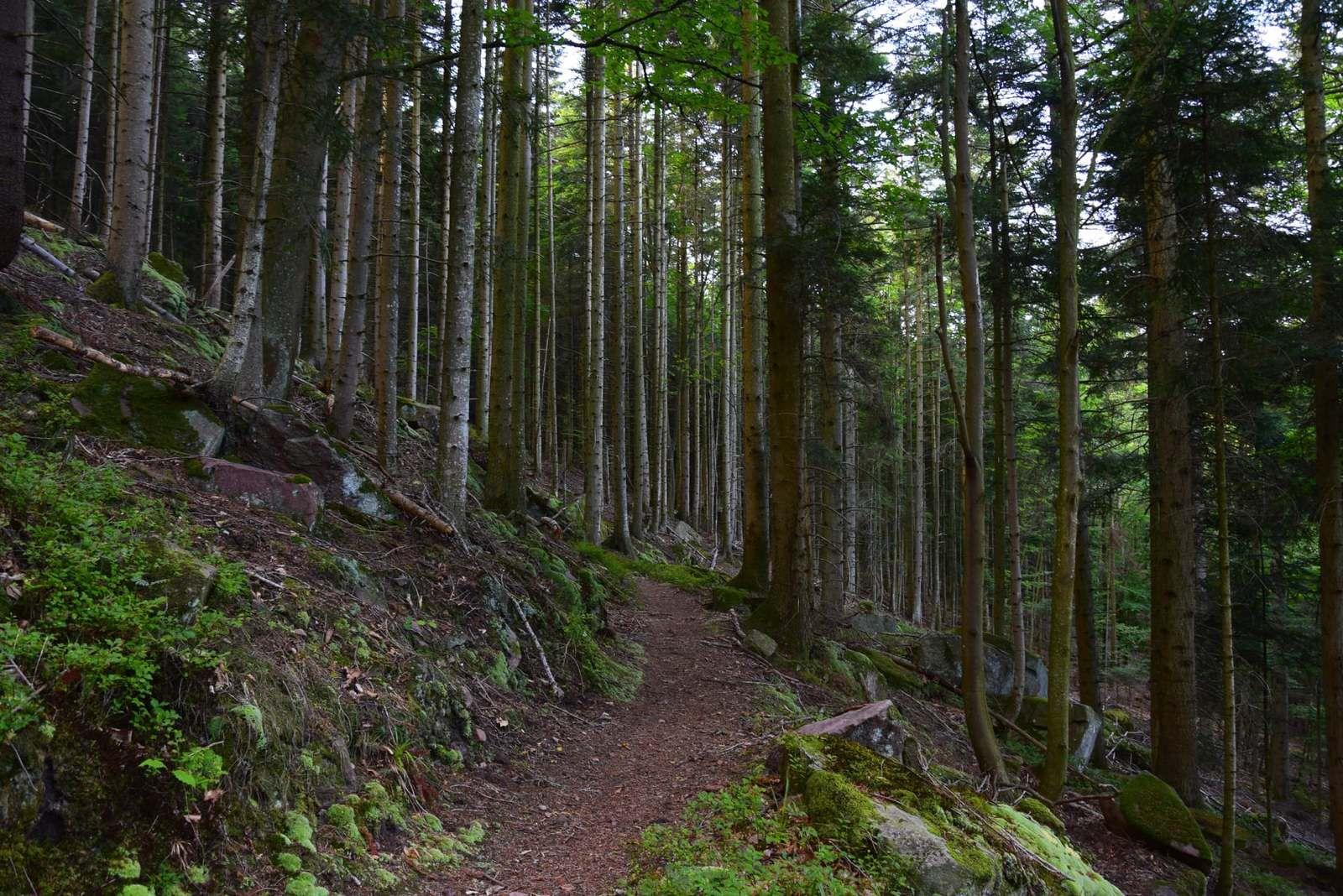 Dans la sombre forêt de pins de Bischoffsheim