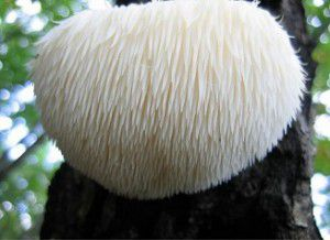 LION's MANE: Nature's Nutrients for Your Neurons.
