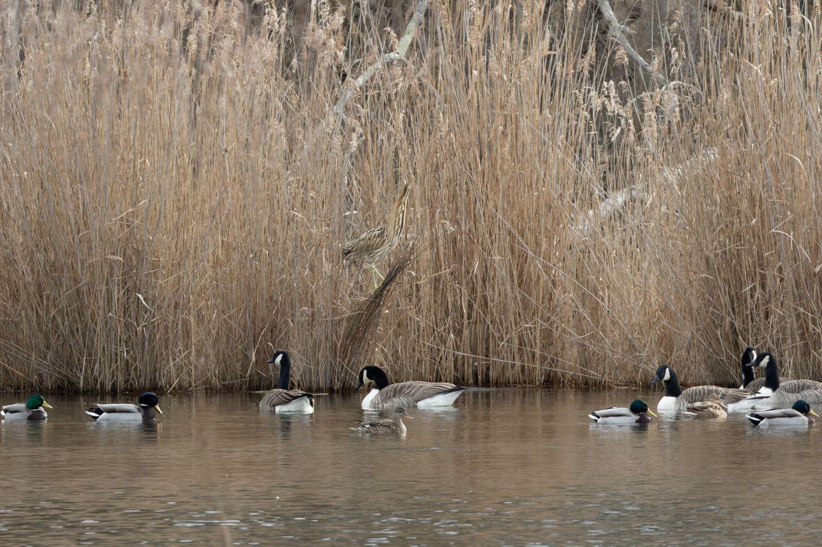 550 - Février, la Nature se réveille, déjà les premiers shows des Canards : 20/02/2021