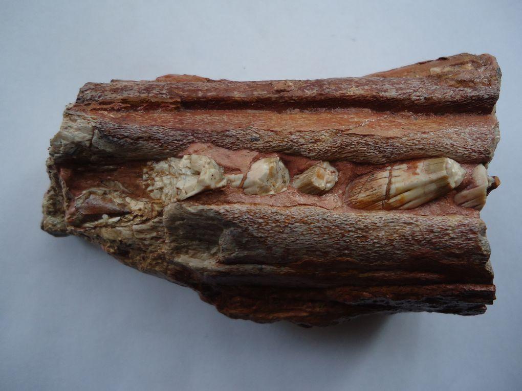 <p>&nbsp;</p> <p>Les reptiles sont connus g&eacute;n&eacute;ralement par des restes fragmentaires, dents et ossements isol&eacute;s, n&eacute;anmoins certains s&eacute;diments d&eacute;pos&eacute;s en eaux calmes par exemple fournissent des squelettes plus complets.</p> <p>Nous avons &eacute;galement inclus les restes de dinosaures dans cet album.</p> <p>Toutes ces pi&egrave;ces appartiennent &agrave; ma collection priv&eacute;e.</p> <p>Bonne visite !</p> <p>Phil &quot;Fossil&quot;</p>