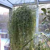 La plante d'intérieur increvable que personne ne connaît