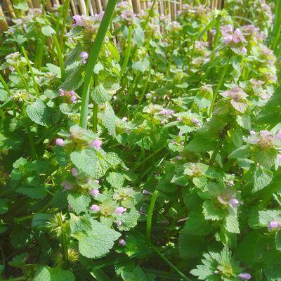 Manger le Lamier pourpre (Lamium purpureum)