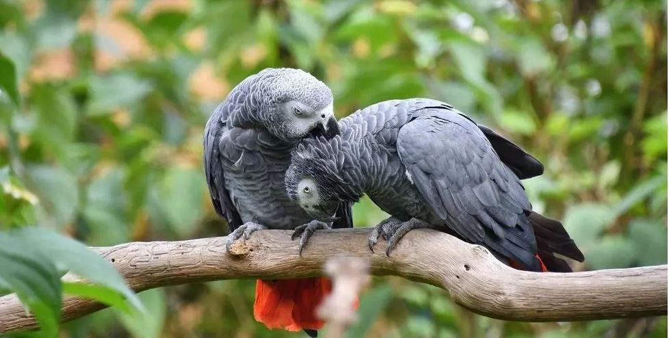 Le perroquet Gris du Gabon, un beau parleur