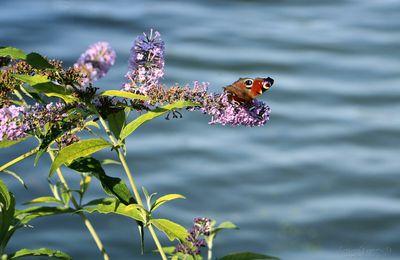 La Sauterelle et le Papillon.. ou l'Inverse..