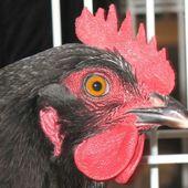 La poule Cotentine - Le blog de Pâquerette