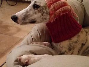 cagoule,bonnet en laine pour lévriers fait par Maryvonne notre super tricoteuse bénévole de l'association
