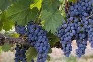 #Petite Syrah Producers Michigan Vineyards