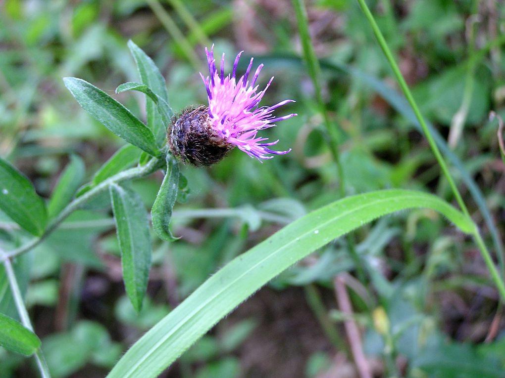 Flore estivale en Roussillon vallée du Vallespir