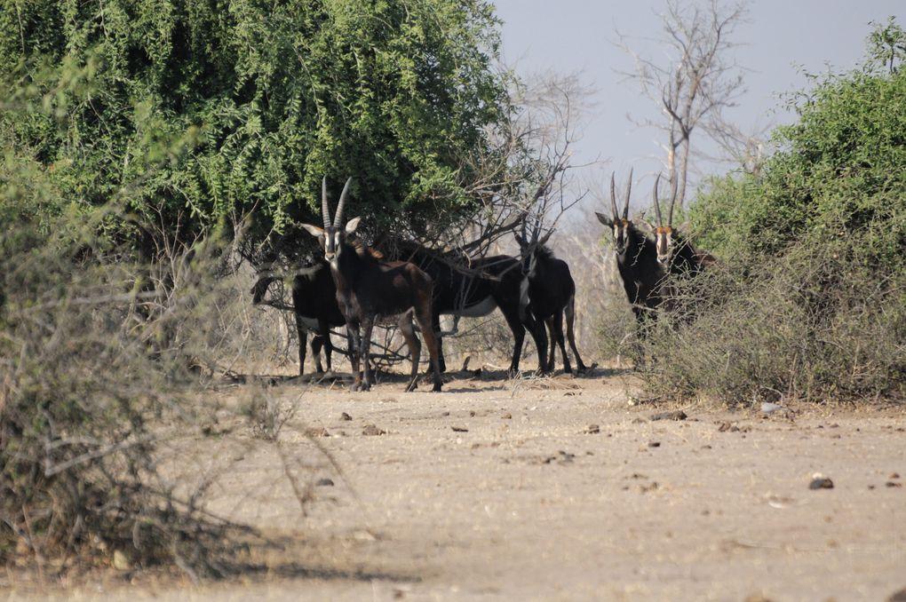 Chobe 22.August 2010