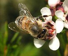 L'anormale mortalité des abeilles associée à un virus