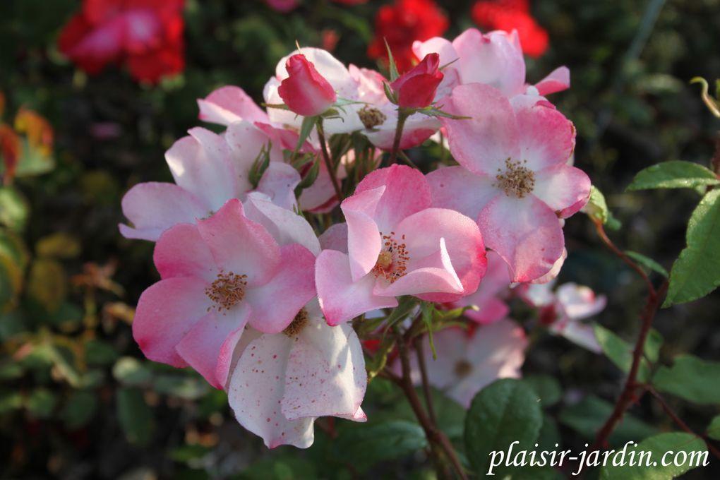 Les rosiers en Rot. à Rz.