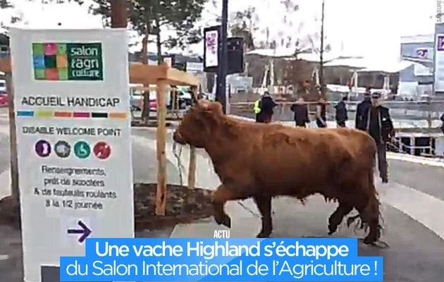 Une vache Highland s'échappe du Salon International de l'Agriculture ! #SIA2017