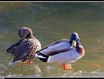 Les canards colverts ...
