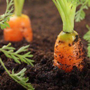 Des carottes pleines de terres ? Pourquoi ?