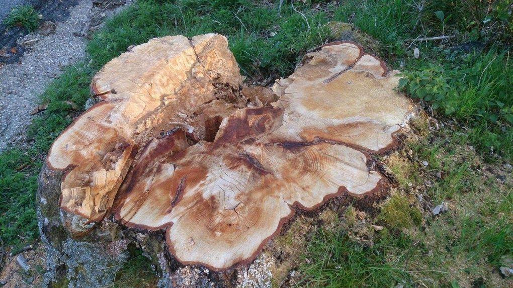 Les photos contre jour et givre datent de 1995-96 ; depuis la canicule de 2003, cet arbre avait perdu de la vigueur ; la photo en feuille a été prise en 2013 et les toutes dernières en mars 2015, à peine un mois avant son abattage.