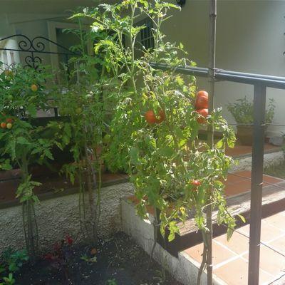 Les tomates de cette année
