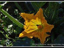 Fleur de courgette ...