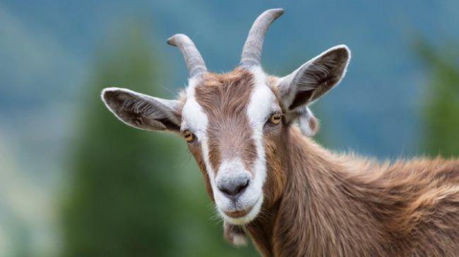 Le Mouton, la Chèvre