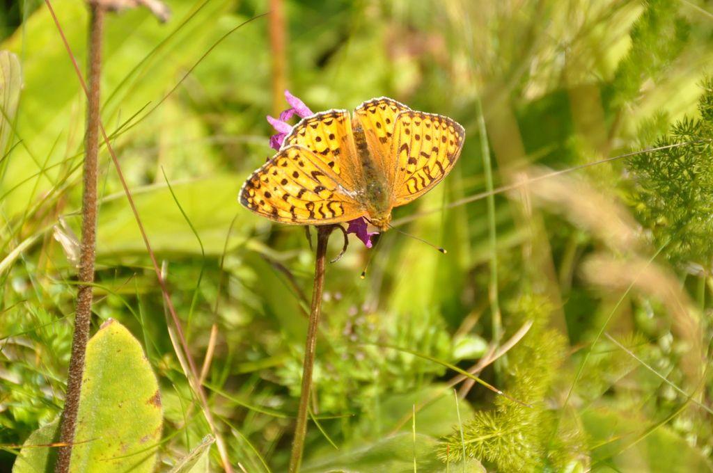 Sur de vastes chaumes , papillon Moyen Nacré et Arnica