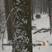 Driven Wild Boar Hunting France-Croatia trips £1590 available 2013