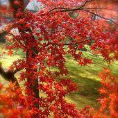 Novembre : Le rouge des érables MOMIJI 紅葉 - Magnifique Mendokusai Japon !