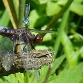 libellule déprimée