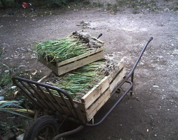 Voici quelques Photos du matériel utilisé aux jardins de Scoulboch. Ce matériel utilisé en agriculture biologique respecte la nature du sol et des cultures mais demande beaucoup de main d'oeuvre !